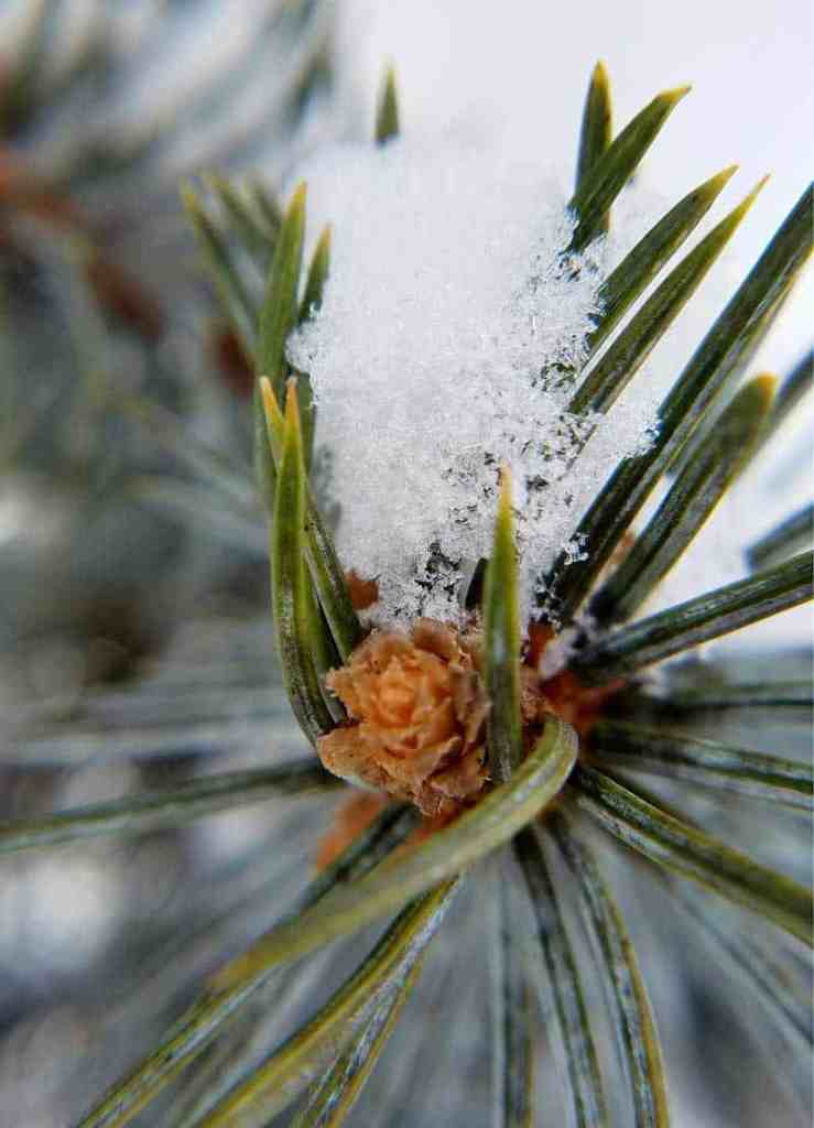 macro lens photograph of snow on pine branch with baby pine cone