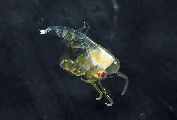 underwater photograph of a translucent phronima aka barrel shrimp