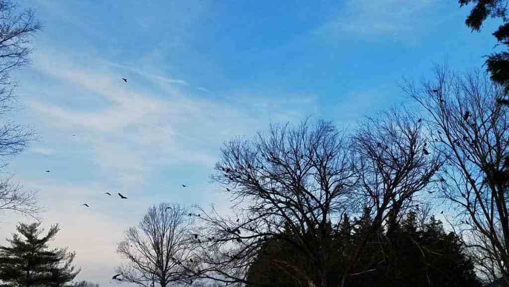 A murder of crows gathers in the bare treetops at sunset
