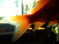 Goldfish Tail