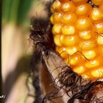 基因改造食物何去何從?(潘柏滔)2016.07.22