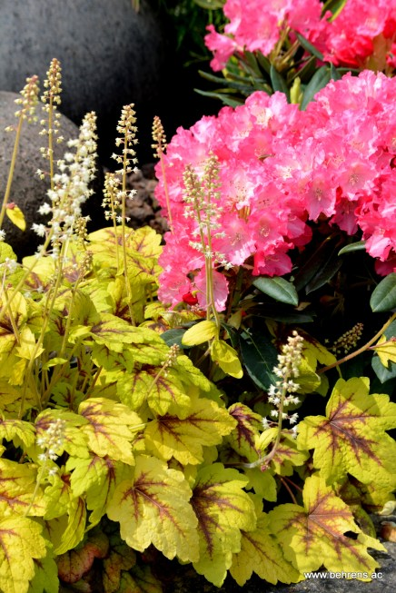 Heucherella 'Stoplight' und Rhododendron yakushimanum