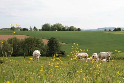 koeien in de weide IMG_5645