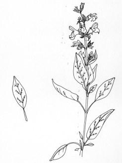sage-drawing