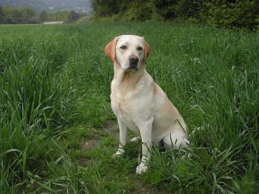 Labrador Retriever ~ image from Wikipedia http://bit.ly/1woJH2H