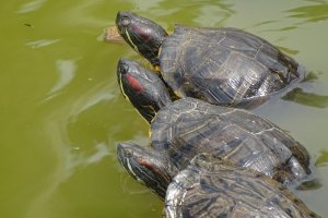 Three turtles in a temple pond looking off to the left