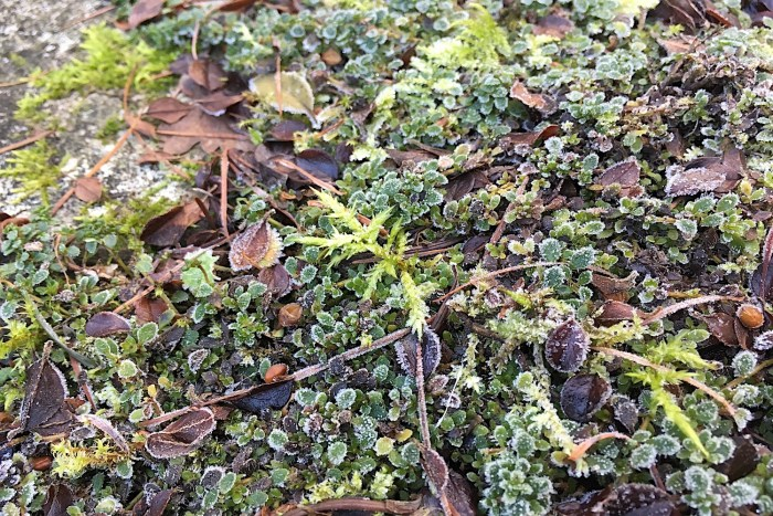 moss creeping through thyme