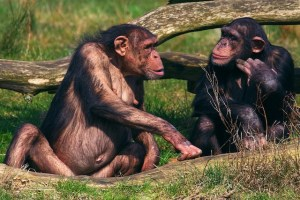 Two chimps face to face conversation provide a space for expansion