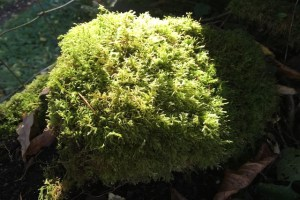 Mounds of moss from the garden make great nesting material for the birds