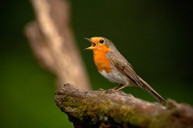 Robin singing from branch creates special birdsong