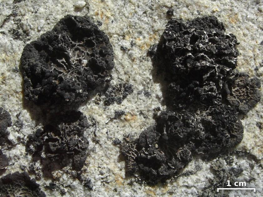 umbilicaria-polaris
