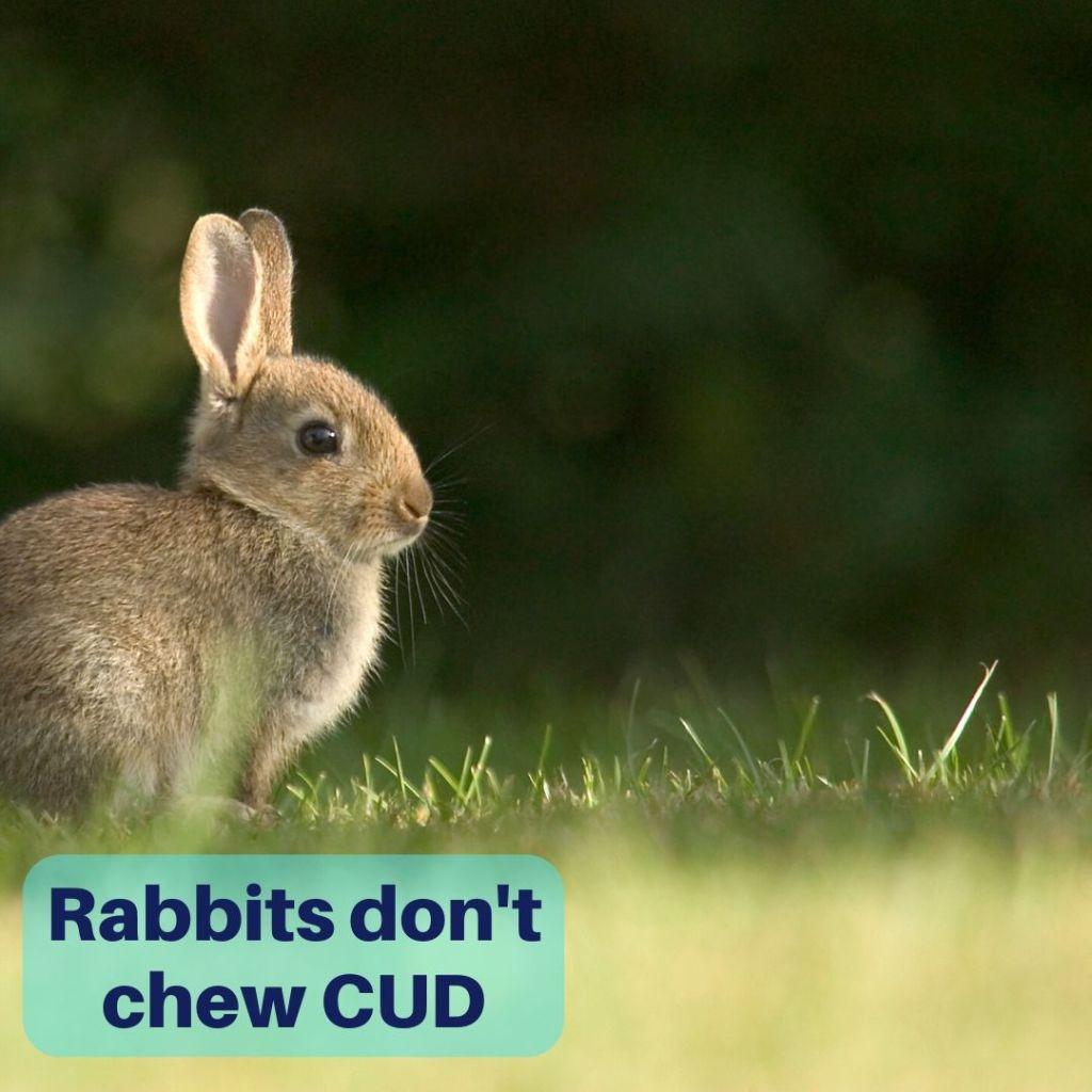 rabbits do not chew cud