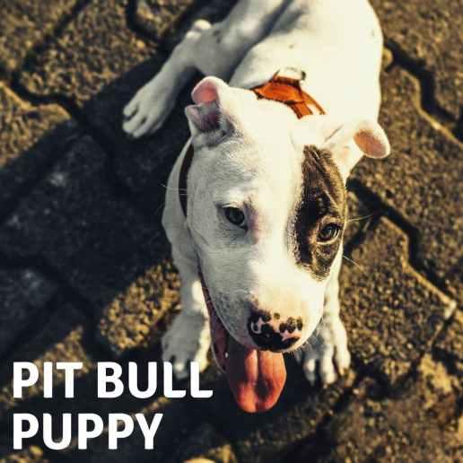 pit bull puppy usa
