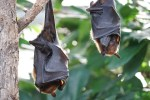 fruit bat flying fox nipah virus infection