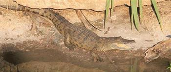 Crocodiles in Beirut River