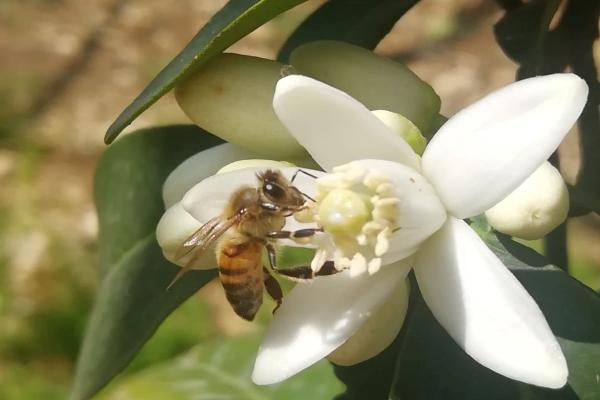 مصلحة الابحاث العلمية: لعدم رش المبيدات الحشرية مع تفتح ازهار الحمضيات