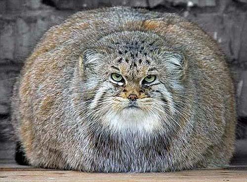 overweight-wildcat.jpg
