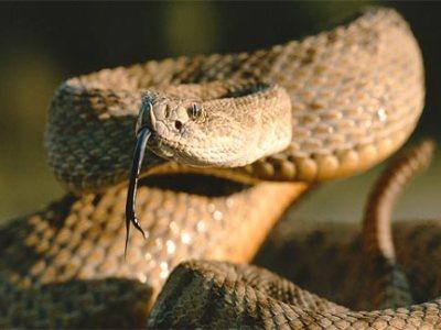 rattlesnake-prairie-coiled.jpg