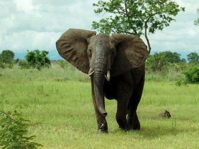 800px-african_bush_elephant_mikumi.jpg