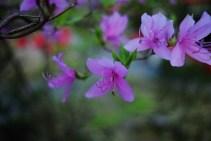 Lilac Flower Photo copyright Rebecca Lau