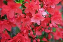 Red Flower Photo copyright Rebecca Lau