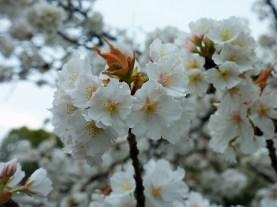 White Cherry Blossom Photo copyright Rebecca Lau