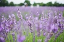 Lavender Field Photo copyright Rebecca Lau