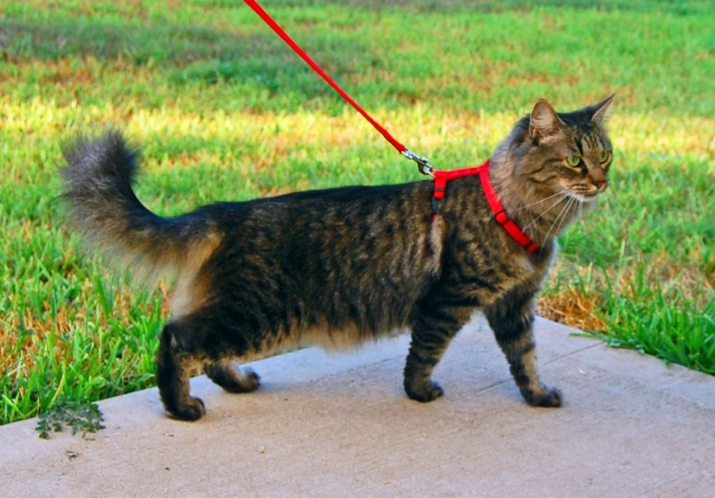 Шлейка для кошек и котов. Основные рекомендации, как одеть шлейку на кота и приучить его носить приспособление Как одеть шлейку на кота пошаговая