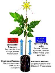 Perbedaan mekanisme pupuk daun dan pupuk akar. Sumber gambar : http://phys.org