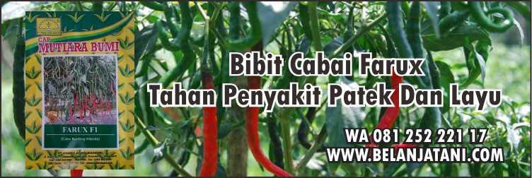 Penyakit Patek,Cabai Keriting,Benih Cabai,Pertanian,Layu Fusarium