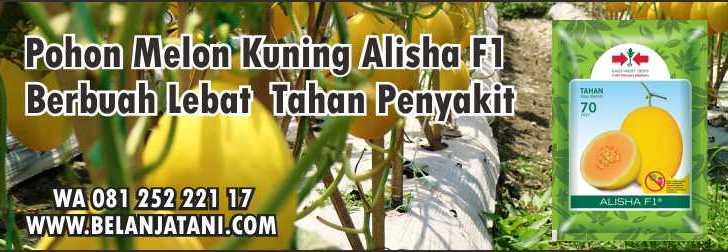 Pohon Melon Kuning Alisha F1,Melon Kuning,Melon Golden,Pemupukan Melon,Budidaya Melon Kuning.