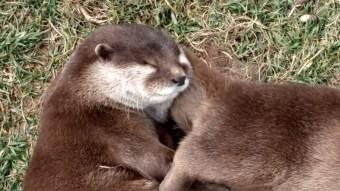 Sleeping otters.