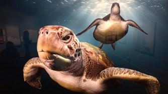 Green Sea Turtles by Greg Lecoeur