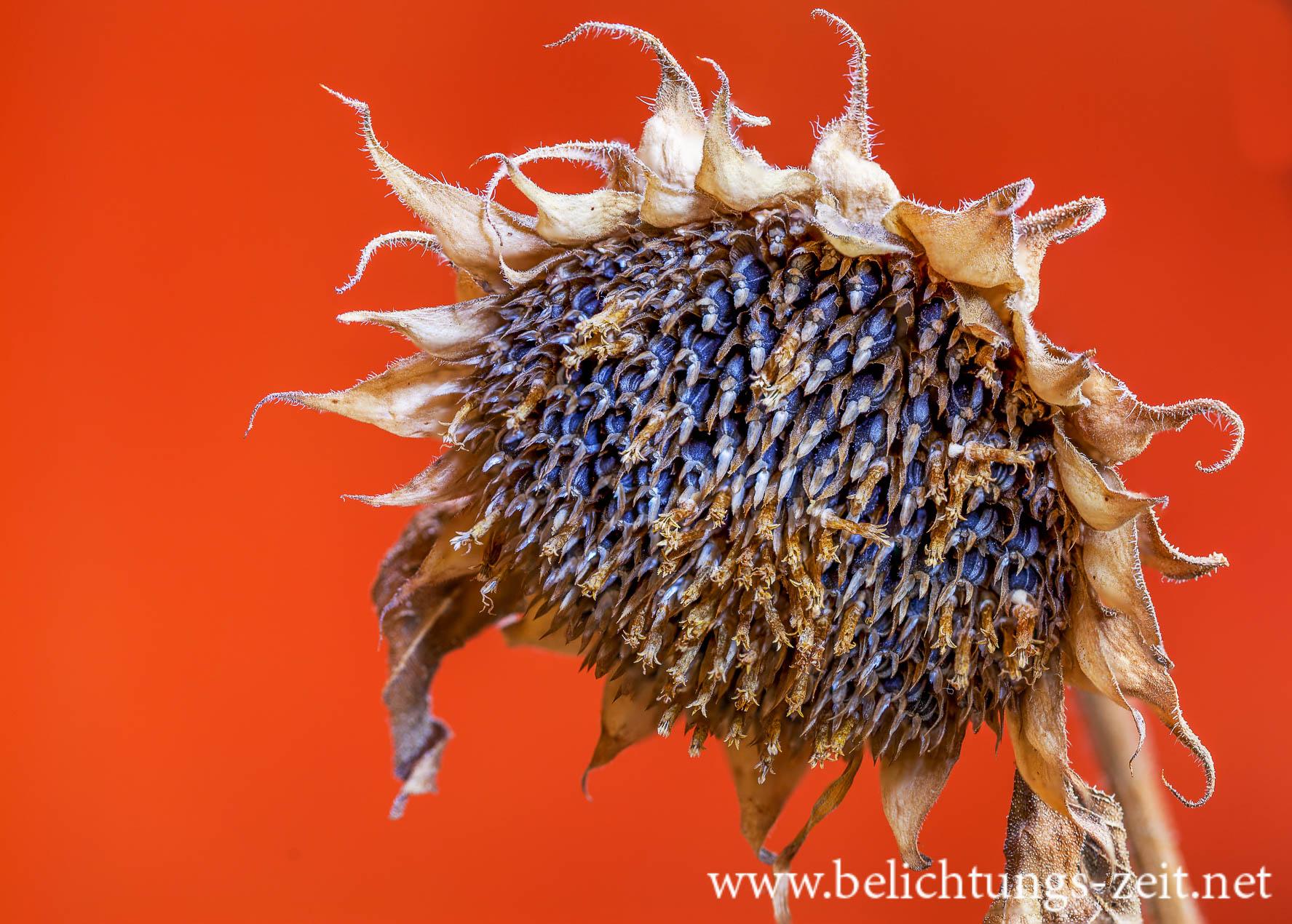 Getrocknete Sonnenblume