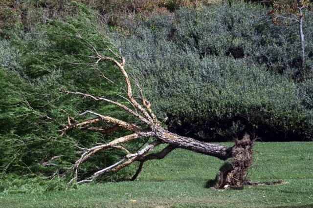 BB Uprooted Tree