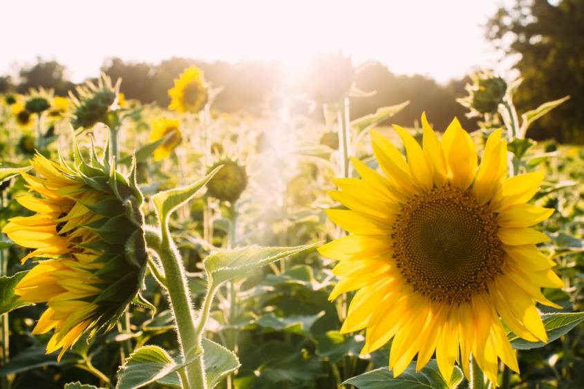 field of cheerful sunflowers