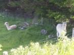 Alpaca (Otago Peninsula)