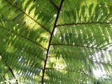 Silver Fern (Rainbow Springs Nature Park)