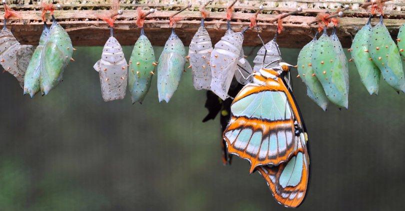 bábból kibújó pillangó