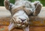 háton fekvő cica