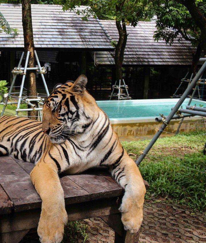 phuket tiger