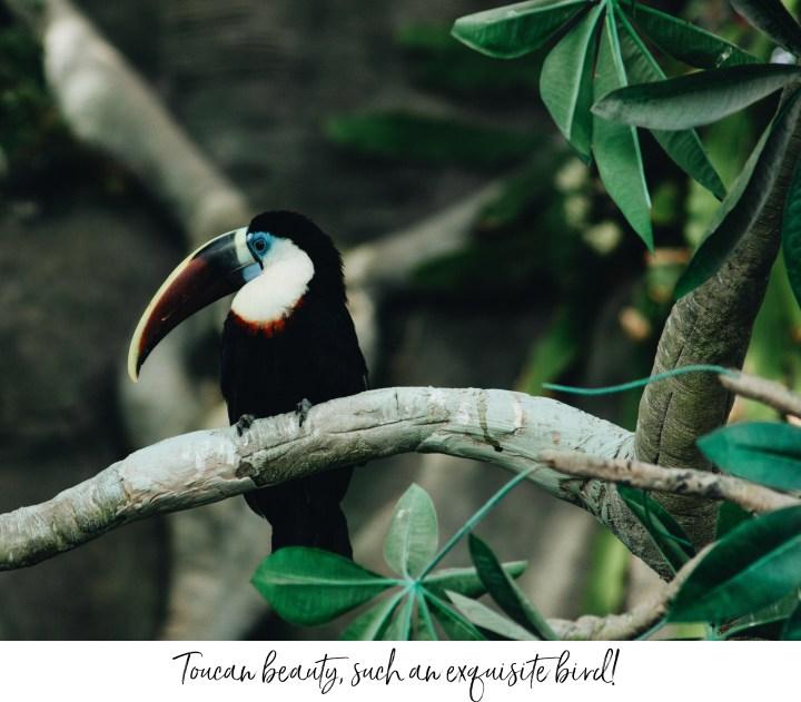 toucan bird tropical brasil