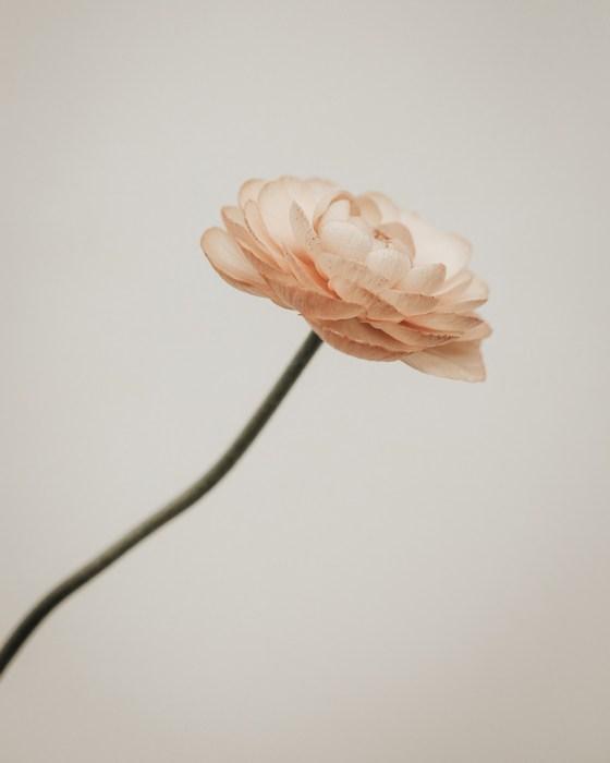 flower ranunculus buttercup