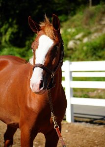 Quite Bright, 2011 Selle Luxembourg filly bred by Bellamy Brook Stables Maple Ridge BC