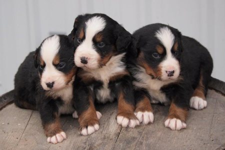 Bernese Mountain Dog puppies from Bellamy Brook Stables Maple Ridge BC