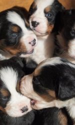 Bernese Mountain Dog puppies at Bellamy Brook Stables Maple Ridge BC