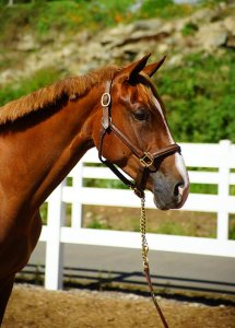 Jumper prospect Quimera, registered Selle Luxembourg 2012 filly. For sale Bellamy Brook Stables Maple Ridge BC