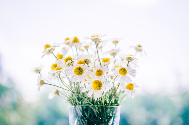 Chamomile (Matricaria chamomilla) has been used since the middle ages as an herbal sedative and way to ease into sleep. Modern studies attempt to figure out the exact mechanism of its anti-anxiety fighting powers with speculation that it's an pidenin, a flavonoid compound. #sleep #chamomile #tea