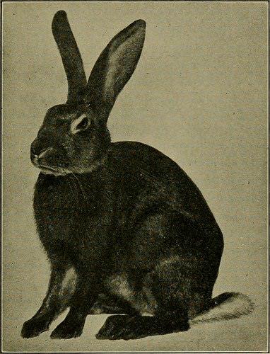 breed like rabbit photo