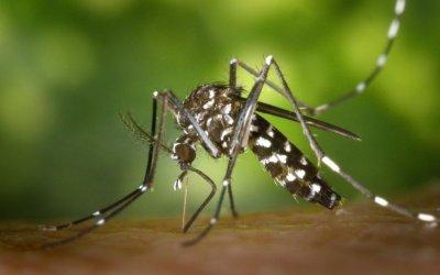 Torna la campanya de prevenció pel mosquit tigre